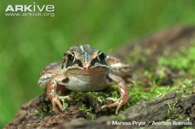 wood-frog-on-mossy-log